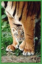 bengal-tiger.jpg