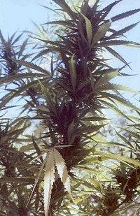 cannabisc.jpg