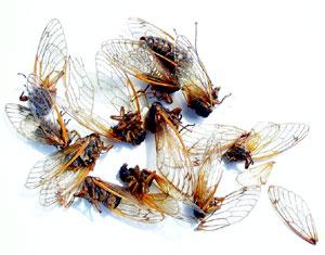 cicadas.jpg