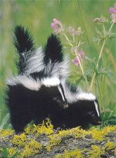 skunky.jpg